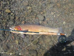 Beautiful Wild Cutthroat Trout
