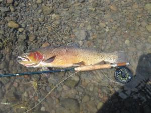 Native Cutthroat