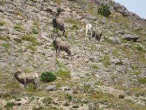 Rams in the Teton wilderness