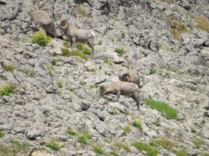 Rams in the rocks